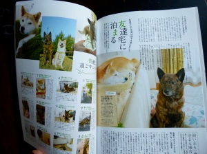 Kai ken and Shiba friends, Shi-Ba magazine 01/2013